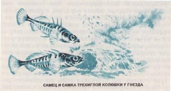 Самец и самка трёхиглой колюшки у гнезда