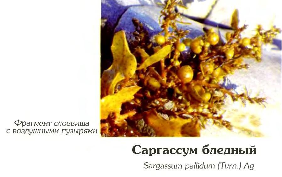 Саргассум бледный (фрагмент)