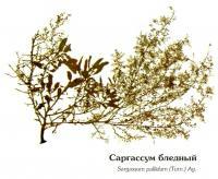 Саргассум бледный