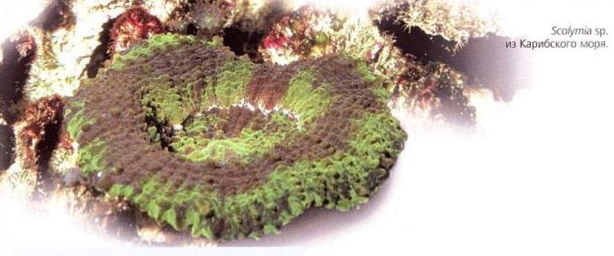 Scolymia sp. из Карибского моря