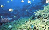 Сетчатые дасциллы (Dascyllus reticulatus)