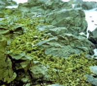 Сильвеция Бабингтона в среде обитания