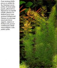 Сине-зеленые водоросли не любят воду, богатую кислородом