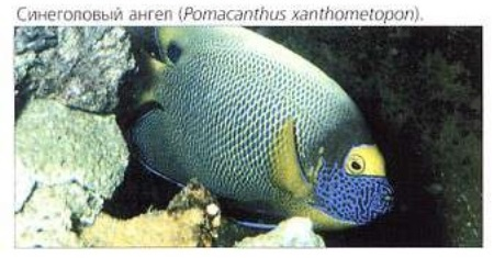 Синеголовый ангел (Pomacanthus xanthometopon)