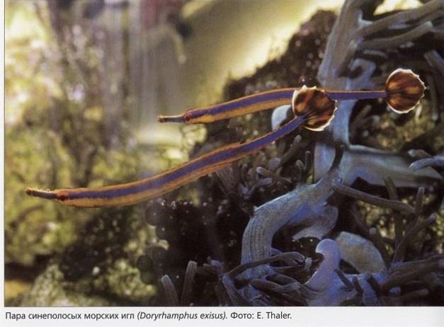 Синеполосые морские иглы Doryrhamphus exisus