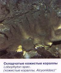 Складчатые кожистые кораллы