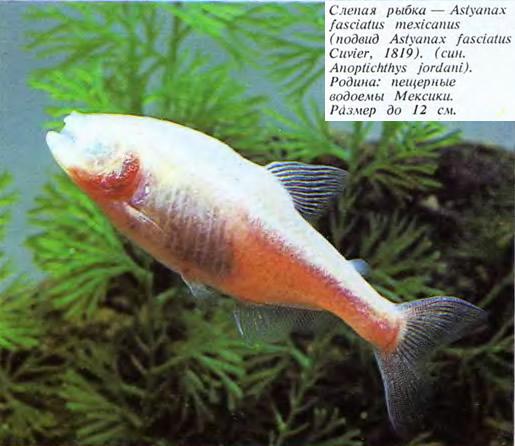 Слепая рыбка