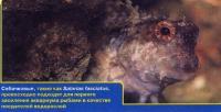 Собачковые - отличные поедатели водорослей