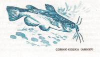 Сомик-кошка (Амиур)