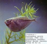 Стерникла
