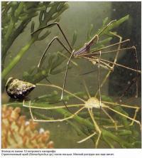 Стрелоголовый краб (Stenorhynchus sp.) после линьки