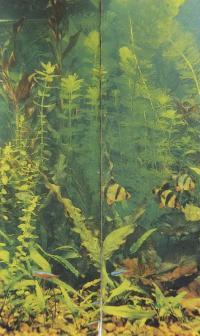 Сурманские барбусы и красные неоны в декоративном аквариуме