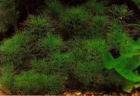 Светолюбива уруть матогросская (Myriophyllum mattogrossense)