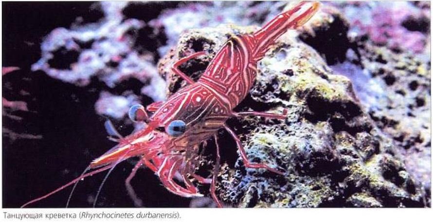 Танцующая креветка (Rhynchocinetes durbanensis)
