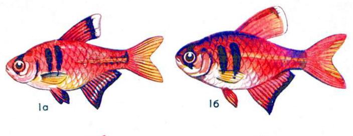 Тетра фон рио (а — самец, б — самка)