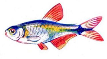 Тетрагоноптерус (самец)