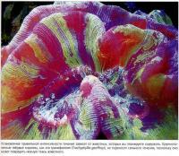 Трахифилия (Trachyphyllia geoffroyi) не переносит сильного течения