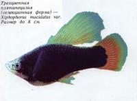 Трехцветная плятипецилия (селекционная форма)