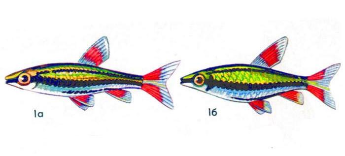 Трехполосый нанностомус (а — самец, б — самка)