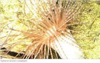 Трубчатая актиния
