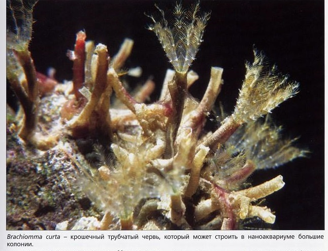 Трубчатый червь Brachiomma curta