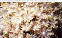 Трубчатый коралл подотряда Stolonifera