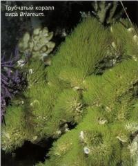Трубчатый коралл вида Briareum