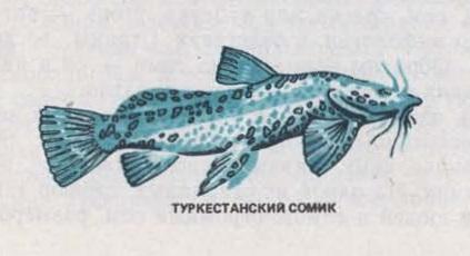 Туркестанский сомик