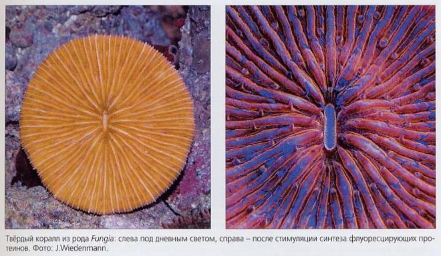 Твёрдый коралл Fungia