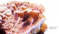 Твёрдый коралл Montipora sp.