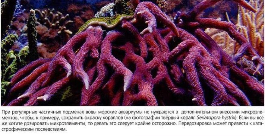 Твёрдый коралл Seriatopora hystrix