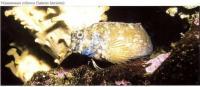 Украшенная собачка (Salarias fasciatus)
