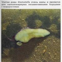 Улитки рода Stomatella