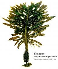 Ундария перистонадрезная