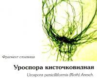 Уроспора кисточковидная