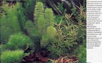 Уруть водяная, риччия плавающая, лимнофила, кувшинка лотус, незея педицелата