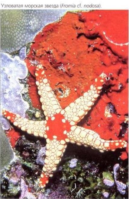 Узловатая морская звезда (Fromia cf. nodosa)