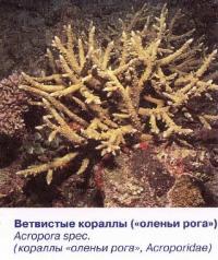 Ветвистые кораллы