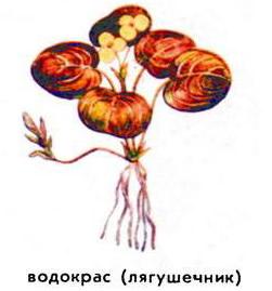 Водокрас (лягушечник)