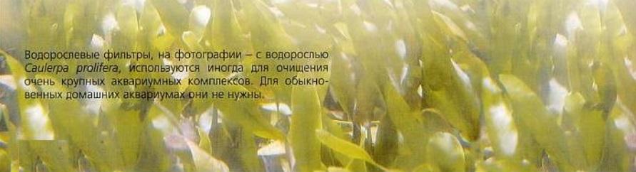 Водоросль Caulerpa prolifera