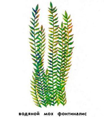 Водяной мох фонтиналис