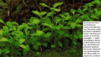 Волокнистые зеленые водоросли