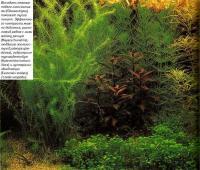 Высадить нежные побеги глоссостигмы (Glossostigma) поможет тупой пинцет