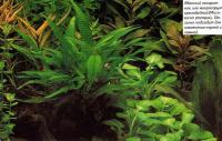 Яванский папоротник, или микросорум крыловидный (Microsorum pteropus)