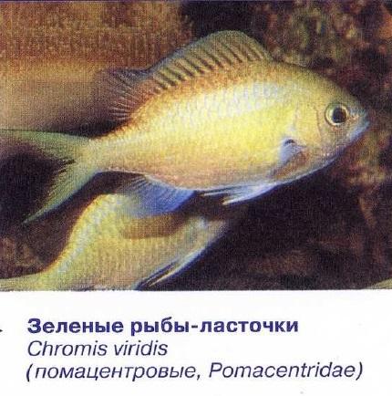 Зелёная рыба-ласточка