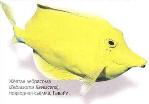 Жёлтая зебрасома (Zebrasoma flavescens)