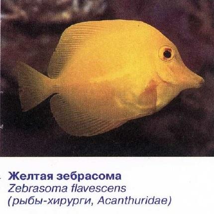 Жёлтая зебрасома