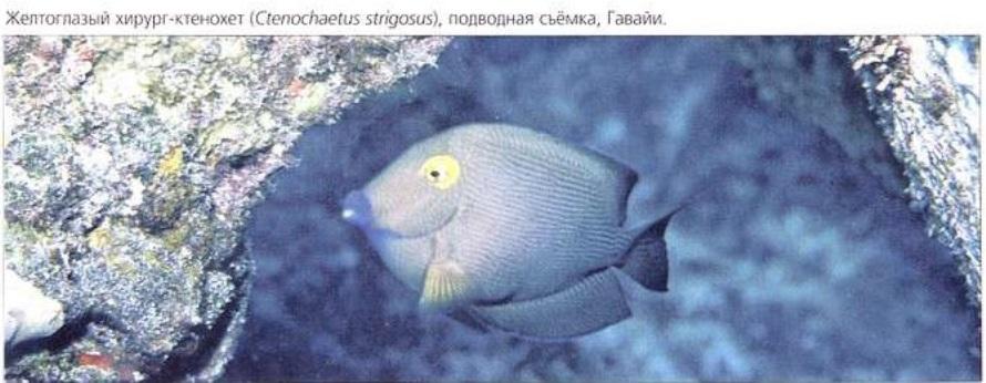 Желтоглазый хирург-ктенохет (Ctenochaetus strigosus)