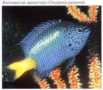 Желтохвостая хризиптера (Chrysiptera parasema)