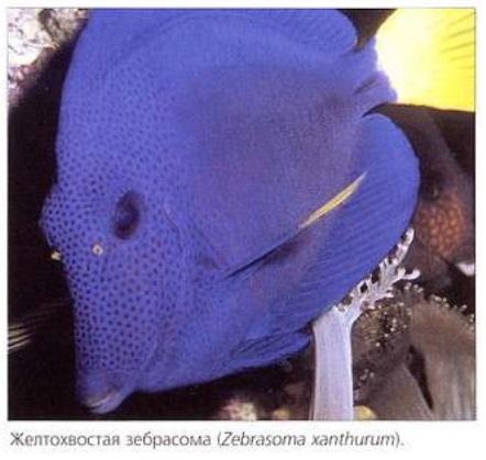 Желтохвостая зебрасома (Zebrasoma xanthurum)